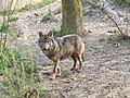 Canis lupus signatus (Kerkrade Zoo) 26.jpg