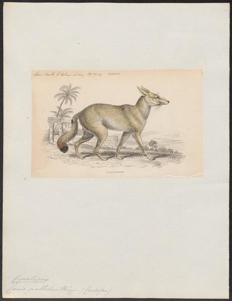 File:Canis pallidus - 1833-1866 - Print - Iconographia Zoologica - Special Collections University of Amsterdam - UBA01 IZ22200043.tif