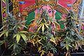 Cannabis DSC 0388 (26568870512).jpg