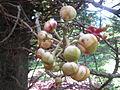 Cannon Ball Tree - നാഗലിംഗ മരം - 006.JPG