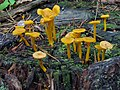Cantharellus ignicolor (R.H. Petersen) 346824.jpg