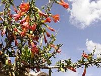 Cantua buxifolia Tiraque Bolivia