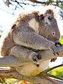Cape Otway Koala-01+ (445928621).jpg