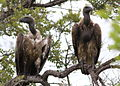 Cape Vulture, Gyps coprotheres at Kruger National Park (13912175084).jpg
