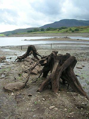 Llyn Celyn - Tree stumps exposed by low water level of reservoir