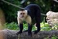 Capucin à épaules blanches (Zoo-Amiens)b.JPG