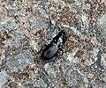 Carabidae Pterostichus species? (36442139595).jpg