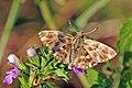 Carcharodus sp. - Bulgaria.jpg