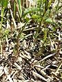 Cardamine parviflora sl4.jpg