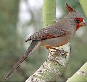 Cardinal pyrrhuloxia wikip dia for Oiseau par la couleur