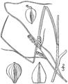 Carex caroliniana BB-1913.png