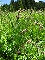 Carex paniculata L. (7462155792).jpg