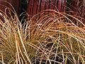 Carex testacea.jpg