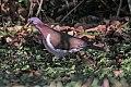 Caribbean Dove (Leptotila jamaicensis) (8082116136).jpg