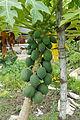 Carica papaya 01.JPG