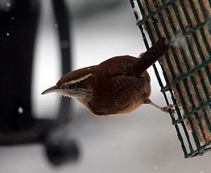 Carolina wren - Carolina wren at feeder