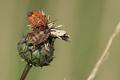 Carpocoris purpureipennis (Pentatomidae), bei Waldsieversdorf.png