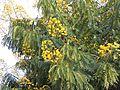 Cassia spectabilis a weed tree spreading in lower Nilgiris landscape AJTJohnsingh DSCN2502.jpg