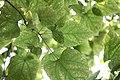 Catalpa speciosa - Severna katalpa (4).jpg