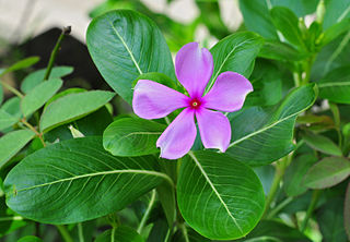 <i>Catharanthus roseus</i> Species of flowering plant in the family Apocynaceae