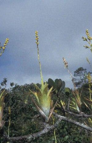 Catopsis berteroniana - Image: Catopsis Berteroniana At Sierra De Lema 4836