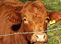 Cattle near Ballymena (2) - geograph.org.uk - 1233414.jpg