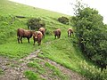 Cattle on the coast path - geograph.org.uk - 1461215.jpg