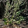 Caulanthus crassicaulis var crassicaulis 2.jpg