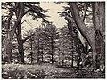 Cedars of Lebanon MET DP116349.jpg