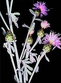 Centaurea busambarensis