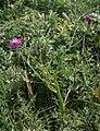 Centaurea napifolia 1.jpg