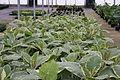 Centre horticole de la Ville de Paris a Rungis 2011 120.jpg