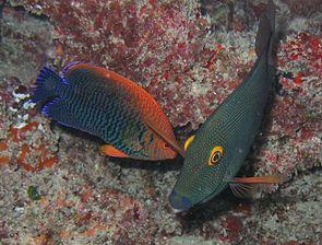 Potters Zwergkaiserfisch (links) mit einem Goldring-Borstenzahndoktorfisch