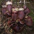 Cephalotus follicularis Hennern 3 (cropped).jpg