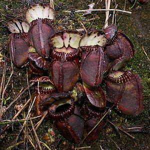 Monotypic taxon - The family Cephalotaceae has only one genus, Cephalotus, which contains only one species, Cephalotus follicularis, the Australian pitcher plant.