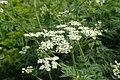 Chaerophyllum aureum kz05.jpg