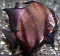 Chaetodipterus faber 9zz.jpg