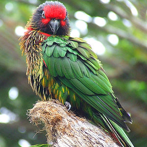 latest images of yellow streaked lory parrot