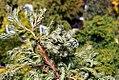 Chamaecyparis pisifera Curley Tops 0zz.jpg