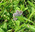 Checkered Blue. Scolitantides orion - Flickr - gailhampshire.jpg