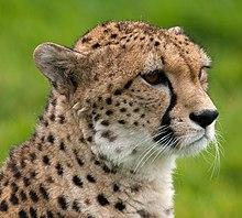 Close-up van het gezicht van een cheetah met zwarte traanafdrukken die van de ooghoeken langs de zijkant van de neus lopen