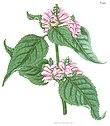 Chelone lyonii.jpg