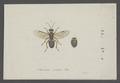 Chelonus - Print - Iconographia Zoologica - Special Collections University of Amsterdam - UBAINV0274 046 09 0003.tif