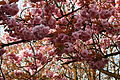 Cherry Blossom in Glasgow.JPG