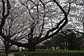 Cherry Blossoms 1 at National Printing Bureau's Odawara Plant.jpg
