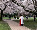 Cherry Blossoms University of Washington (33805993226).jpg