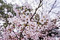 Cherry blossoms at Matsuyama Castle, Ehime Prefecture; April 2017 (04).jpg