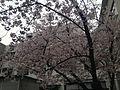 Cherry blossoms in Fukuoka 20160331-3.JPG