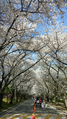 Cherryblossoms-tree lined road.png