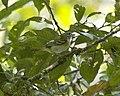 Chestnut-fronted Shrike-Babbler (Pteruthius aenobarbus)-3.jpg